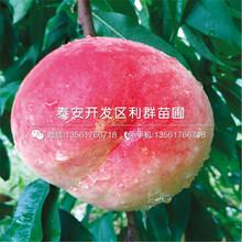 19黄桃苗基地出售价格图片