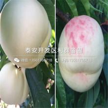 15公分水蜜桃苗出售价格、15公分水蜜桃苗多少钱一棵图片