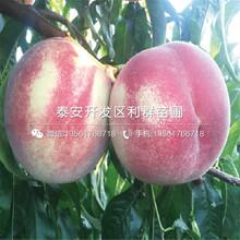 紫血桃树苗品种、紫血桃树苗新品种图片