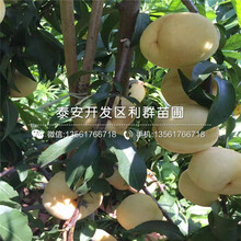 一亩地种植多少株1公分黄桃树苗图片
