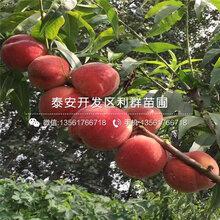 4公分油桃樹苗批發價格是多少圖片