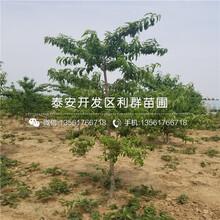 山东6公分油桃树苗、山东6公分油桃树苗品种图片