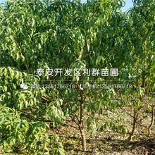 附件哪里有沙紅桃樹苗出售圖片