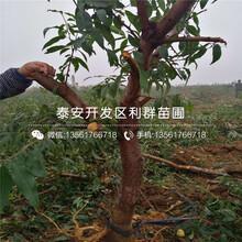 黄肉油桃树苗基地批发价格图片