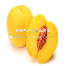 春红桃苗哪里有卖、春红桃苗价格是多少图片