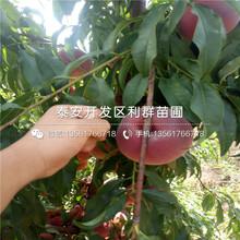 新品种永莲蜜桃5号桃树苗多少钱一棵图片
