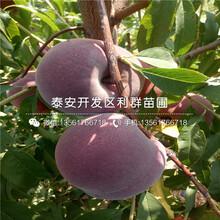 4公分油桃苗哪里有卖、4公分油桃苗多少钱一棵图片