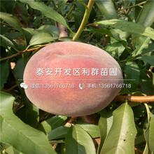 山东冬雪王桃树苗价格图片