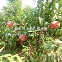 中油4号桃树苗品种、中油4号桃树苗价格是多少