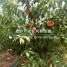 永莲蜜桃5号桃树苗报价、永莲蜜桃5号桃树苗价格图片