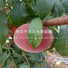 山东黄金蜜桃苗批发价格图片