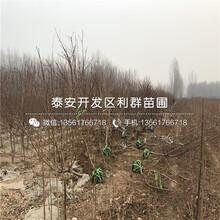 锦春黄桃树苗2019年报价图片