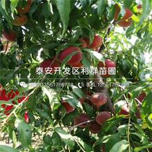 鲁红618桃树苗一棵多少钱图片
