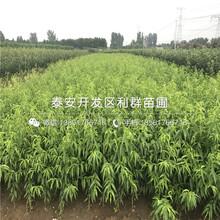 红灯笼黄桃树苗出售、红灯笼黄桃树苗多少钱一棵图片