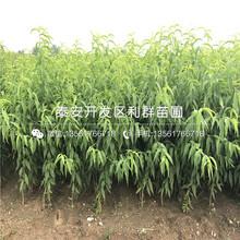 新品种锦绣黄黄桃苗图片