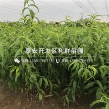 大红桃苗价格、2019年大红桃苗价格图片