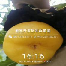 山东中蟠11号蟠桃苗报价图片