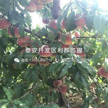 2公分油桃树苗、2公分油桃树苗多少钱一棵图片