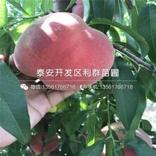 新品种新世纪黄桃树苗图片