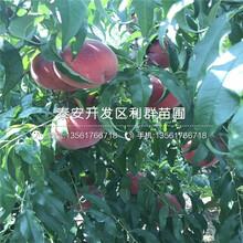 油蟠5号蟠桃苗种植技术、油蟠5号蟠桃苗价格是多少图片