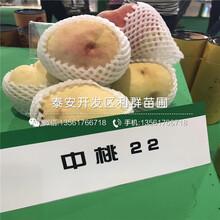 瑞蟠1号桃树苗种植技术、瑞蟠1号桃树苗价格是多少图片
