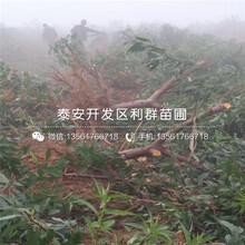 2019年美国甜桃苗报价图片