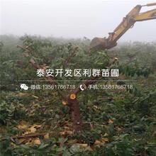 中油5号油桃树苗哪里便宜、中油5号油桃树苗多少钱一棵图片