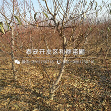 中国沙红桃树苗销售价格图片