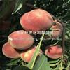 山东中蟠11号蟠桃树苗出售价格、山东中蟠11号蟠桃树苗批发基地