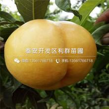 山东金冠黄桃树苗、山东金冠黄桃树苗价格图片