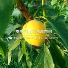 美国甜桃树苗、美国甜桃树苗哪里便宜图片