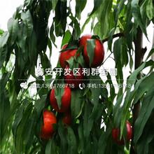 新品种金童6号黄桃树苗价格是多少图片