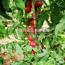 夏红桃树苗价钱图片