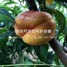 春美桃树苗品种简介、春美桃树苗多少钱一棵图片