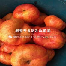 山东秋红桃苗批发、山东秋红桃苗多少钱一棵图片