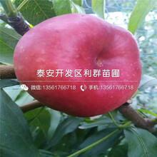 金秋红蜜桃树苗价钱多少图片