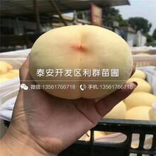 山東優質桃樹苗價格、山東優質桃樹苗多少錢一棵圖片