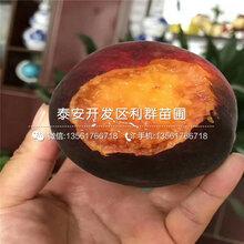黄金王黄桃苗基地批发