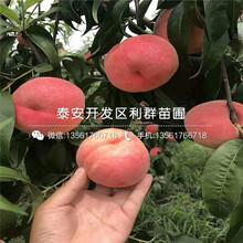 山东映霜红桃树苗销售价格图片