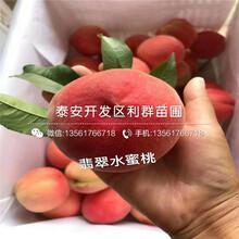 山东黄肉油桃苗批发图片