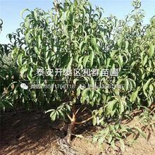 附件哪里有中华巨蟠桃树苗出售、中华巨蟠桃树苗多少钱一棵图片
