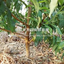 春美桃樹苗價格、春美桃樹苗出售圖片