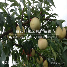 中华福桃树苗、中华福桃树苗批发价格图片