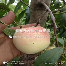 哪里有永莲蜜桃9号黄桃树苗出售图片