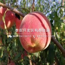 山东仲秋黄金脆桃树苗出售、山东仲秋黄金脆桃树苗多少钱一棵图片