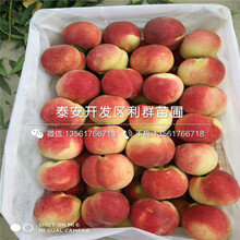 山东中华寿桃桃树苗、山东中华寿桃桃树苗出售价格图片