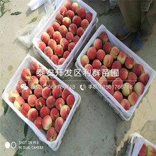 蟠桃桃苗什么价格、蟠桃桃苗多少钱一棵