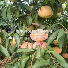 山东毛桃桃树苗出售价格是多少图片