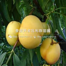 中桃红玉桃苗销售基地图片