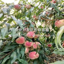 山东黄金油蟠桃树苗价格、山东黄金油蟠桃树苗出售图片
